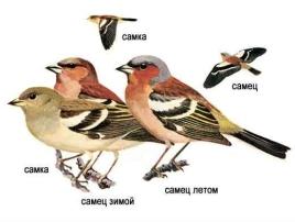 pinka obycajna, зяблик, finch (samička, samček v zime, samček v lete) zdroj
